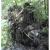 Obrázek 12. Kořenový bal vyvráceného stromu s cihlami.