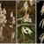 Obr. 2 - Rostliny Epipogium aphyllum v převážně jehličnatém lese blízko Hüfingen, v jižním Německu.